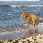 złota plaża i briard...